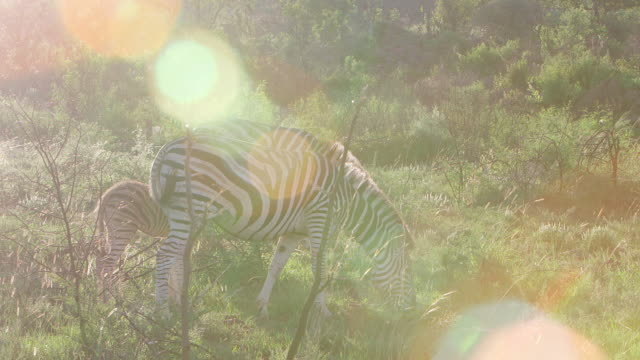 WS TS View of Zebra grazing and moving in grass  / Pilanesberg, Gauteng, South Africa