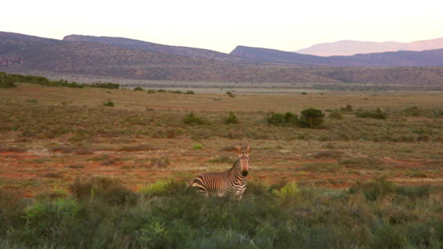 vidéos et rushes de ws view of zebra in meadow / the karoo, south africa - karoo