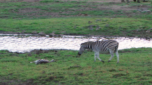 WS TS View of Zebra mother returns to it's injured young to encourage it to get up / Pilanesberg, Gauteng, South Africa