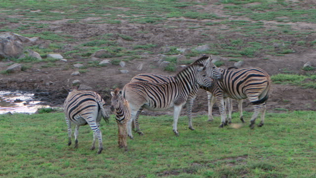 WS PAN View of Zebra mother returns to it's injured young to encourage it to get up / Pilanesberg, Gauteng, South Africa