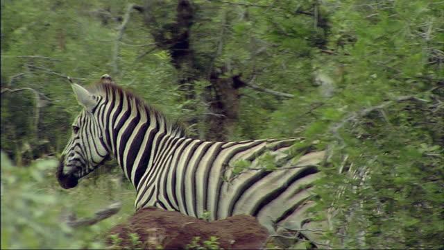 vídeos de stock, filmes e b-roll de ms pan view of zebras running / lowfeld, swaziland - grupo médio de animais