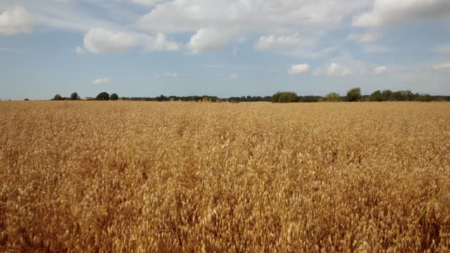 stockvideo's en b-roll-footage met ms tu cs view ofripening oat field / copenhagen, sjaelland, denmark - field