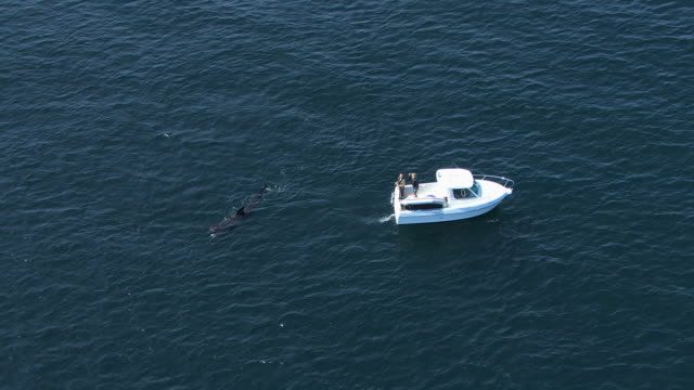 vídeos y material grabado en eventos de stock de ws aerial ds zo view over basking shark cetorhinus maximus close to small boat containing two people near island of coll / isle or island of coll, argyll and bute, scotland - peregrino