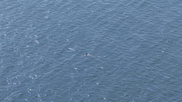 WS AERIAL PAN View over Basking shark Cetorhinus Maximus near island of Coll / Isle or island of Coll, Argyll and Bute, Scotland