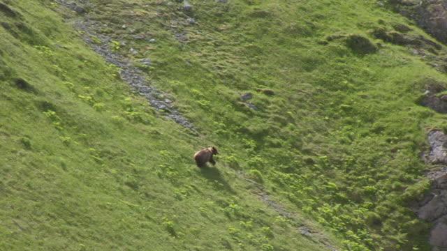 ws aerial ts view over bear running on grassy side of mountain / chichagof island, alaska, united states - grizzlybär stock-videos und b-roll-filmmaterial