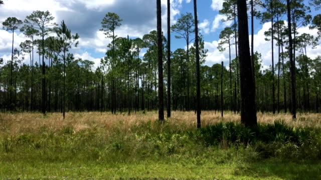 view though car window while driving in pine forest with cutthroat grass understory - moving past stock videos & royalty-free footage