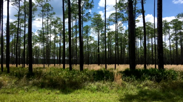view though car window while driving in pine forest with saw palmetto in foreground - passare davanti video stock e b–roll