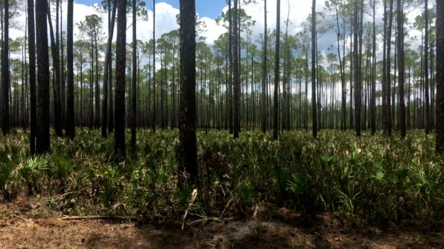 view though car window while driving through pine forest with saw palmetto regrowth after prescribed burn - moving past stock videos & royalty-free footage