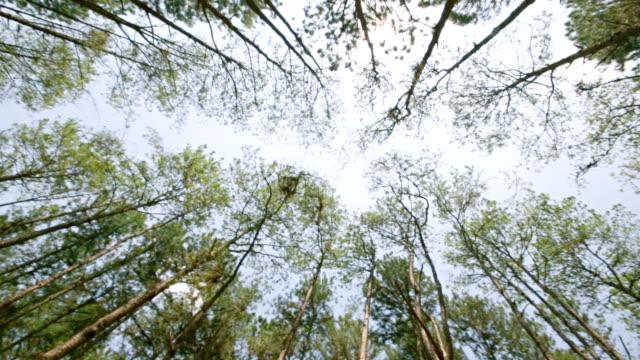 vídeos de stock, filmes e b-roll de ver os sob pinheiros - pinaceae