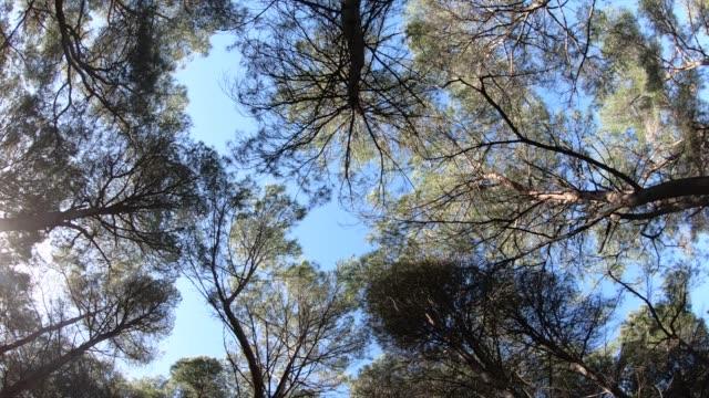 vídeos de stock, filmes e b-roll de vista acima ou vista inferior dos pinheiros em uma floresta na luz do sol - pinhal