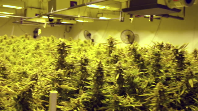 views of a cannabis farm in canada - legalisation stock videos & royalty-free footage