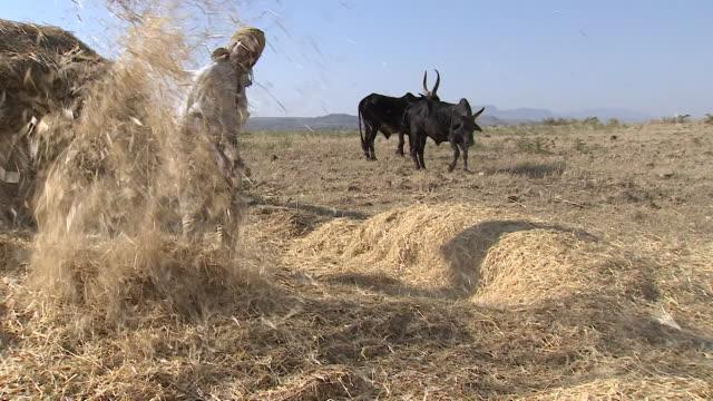 vídeos y material grabado en eventos de stock de views of a farmer pitchforking hay in tigray ethiopia - bieldo equipo agrícola