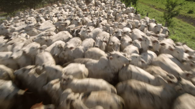 views of a large herd of white cows on a ranch in brazil - herding stock-videos und b-roll-filmmaterial