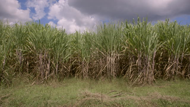 vídeos y material grabado en eventos de stock de views of a sugar cane plantation - antillas occidentales