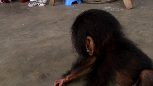 views of a trafficked baby chimpanzee rescued by police in the ivory coast - trafficking stock videos and b-roll footage