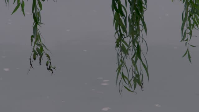 cu views of a willow hanging over a pond - trauerweide stock-videos und b-roll-filmmaterial