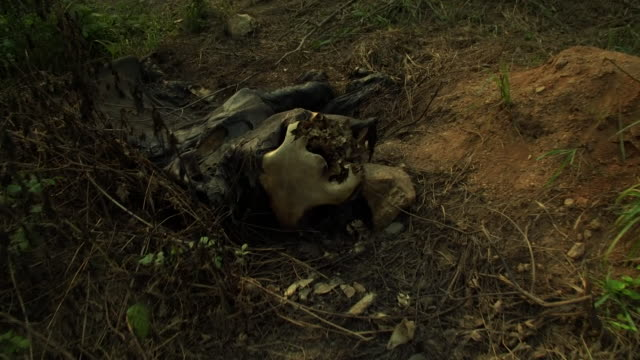 Views of an endangered Forest Elephant carcass after it was killed by poachers for its tusks