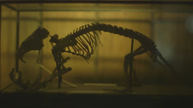 views of animal skeletons in a museum - zoology stock videos & royalty-free footage