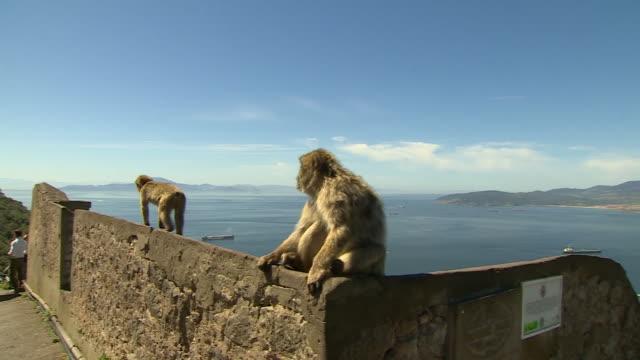 views of barbary macaque monkeys in gibraltar - gibraltar bildbanksvideor och videomaterial från bakom kulisserna