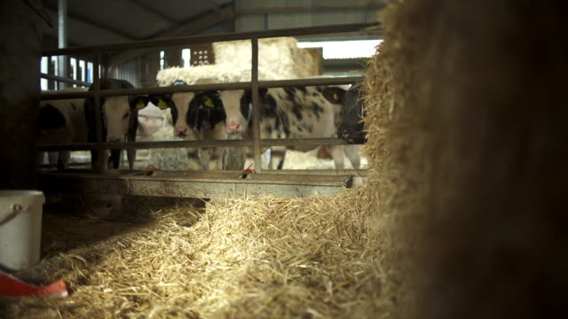 views of cows on a farm - livestock stock videos & royalty-free footage
