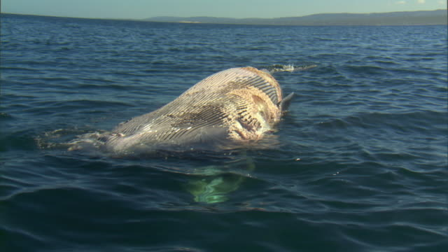 ms zo views of dead bryde's whale carcass floating in blue ocean under sunlight reflection / port elizabeth, eastern cape, south africa - 死んでいる動物点の映像素材/bロール