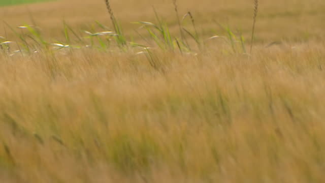 Views of fields of barley in Islay Scotland