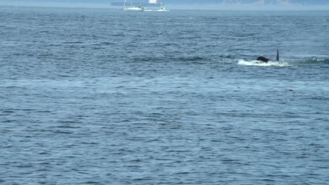 views of orcas off the coast of san juan island - killer whale stock videos & royalty-free footage