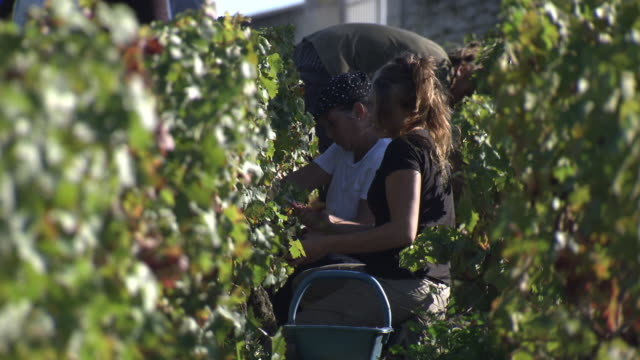 views of people harvesting grapes at a vineyard - traube stock-videos und b-roll-filmmaterial