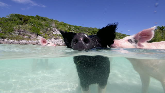 views of pigs swimming on a beach in the bahamas - pig stock videos & royalty-free footage