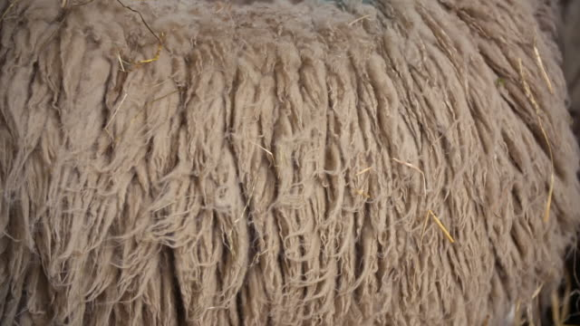views of sheep about to be sheared - animal hair stock videos & royalty-free footage