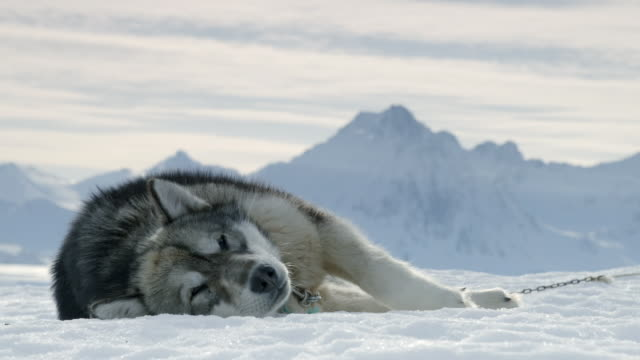 views of sled dogs resting in snowy landscape - animal hair stock videos & royalty-free footage