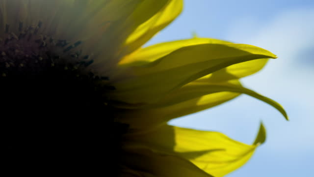 views of sunflowers in a field - agricultural field stock videos & royalty-free footage