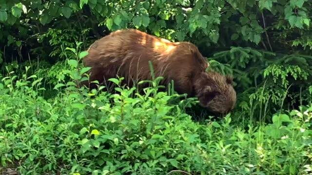 views of wildlife in the tongass national forest in alaska - braunbär stock-videos und b-roll-filmmaterial