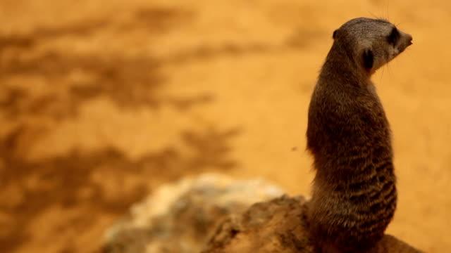 vigilant meerkat - meerkat stock videos & royalty-free footage
