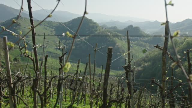 Vigna di Prosecco in primavera