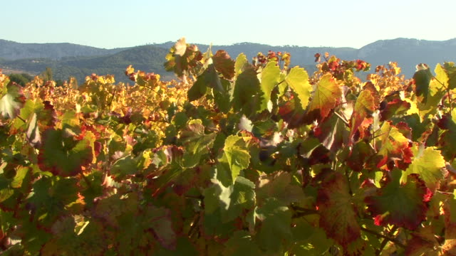 HD : Vignoble of Provence ( France )