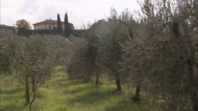 a villa overlooks an olive grove in tuscany. - frutteto video stock e b–roll