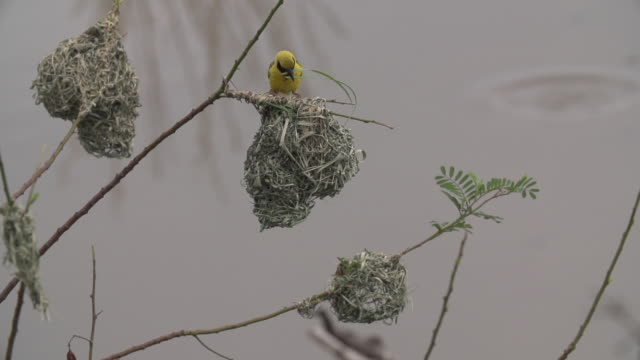 village weaver builds nest by threading blade of grass through nest over a pan of water, kruger national park, south africa - blade of grass stock videos & royalty-free footage
