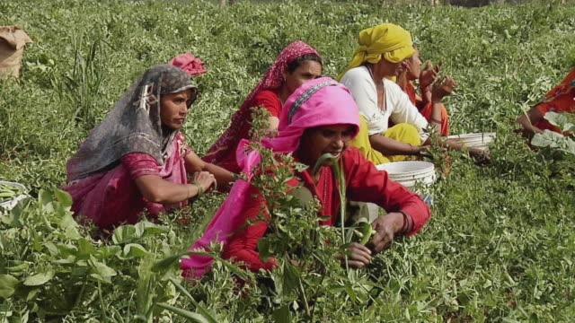MS Village women plucking peas, Farrukh Nagar / Gurgaon, Haryana, India