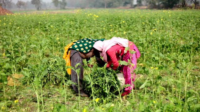 village women working in the green field - farm worker stock videos and b-roll footage