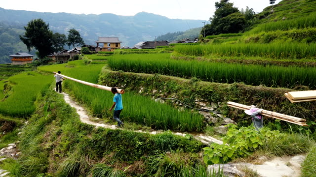 vidéos et rushes de villagers carry wood in terraces,guizhou,china. - cereal plant