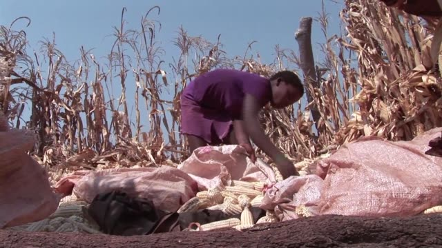 villagers in zimbabwe are skipping meals and foraging for wild fruit as food stocks run out after a poor harvest blamed on drought and controversial... - reform stock-videos und b-roll-filmmaterial