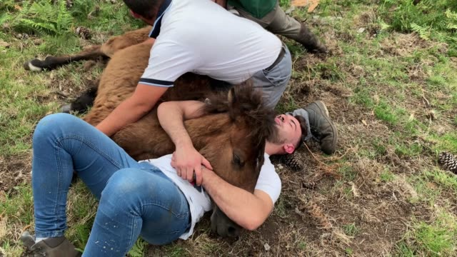 villagers tame a foal to shear its mane and tail after rounding wild horses up in the hills on the eve of the rapa das bestas or the 'shearing of the... - tame stock videos and b-roll footage