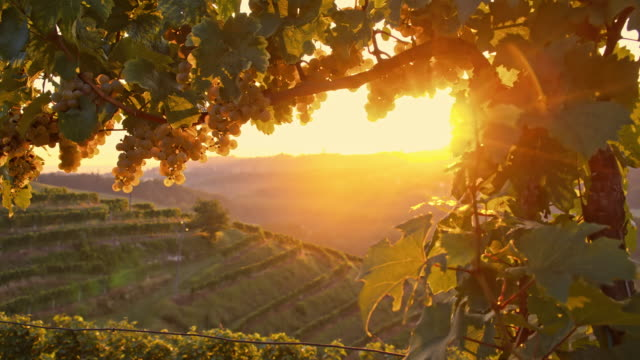 ds vine against late afternoon sun - grape stock videos & royalty-free footage