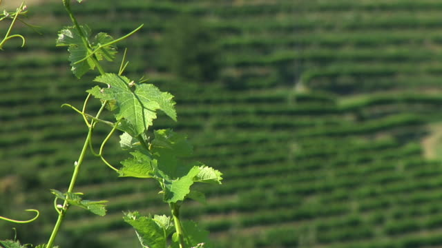 hd: vine branch - grape leaf stock videos and b-roll footage