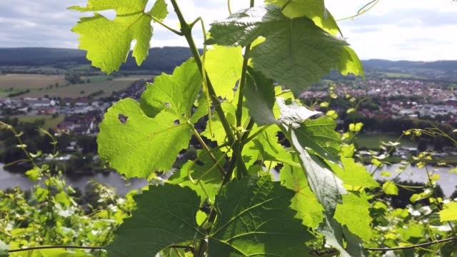stockvideo's en b-roll-footage met vine branches with leaves - zandsteen