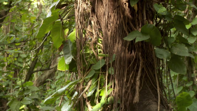 cu vine covered tree, kauai, hawaii, usa - tree trunk stock videos & royalty-free footage