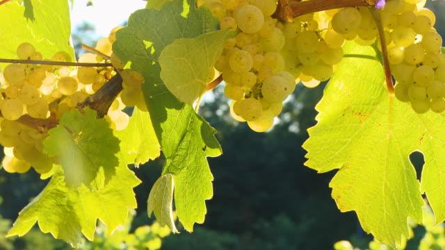 HD DOLLY: Vine Full Of White Grapes