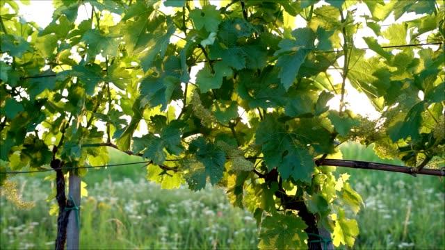 vidéos et rushes de vigne en fleur - raisin noir