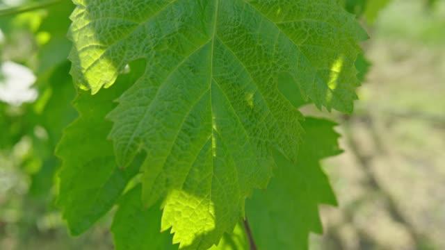 vídeos de stock e filmes b-roll de vine leaf, vineyard, close up, nature, spring, sunshine - vinha